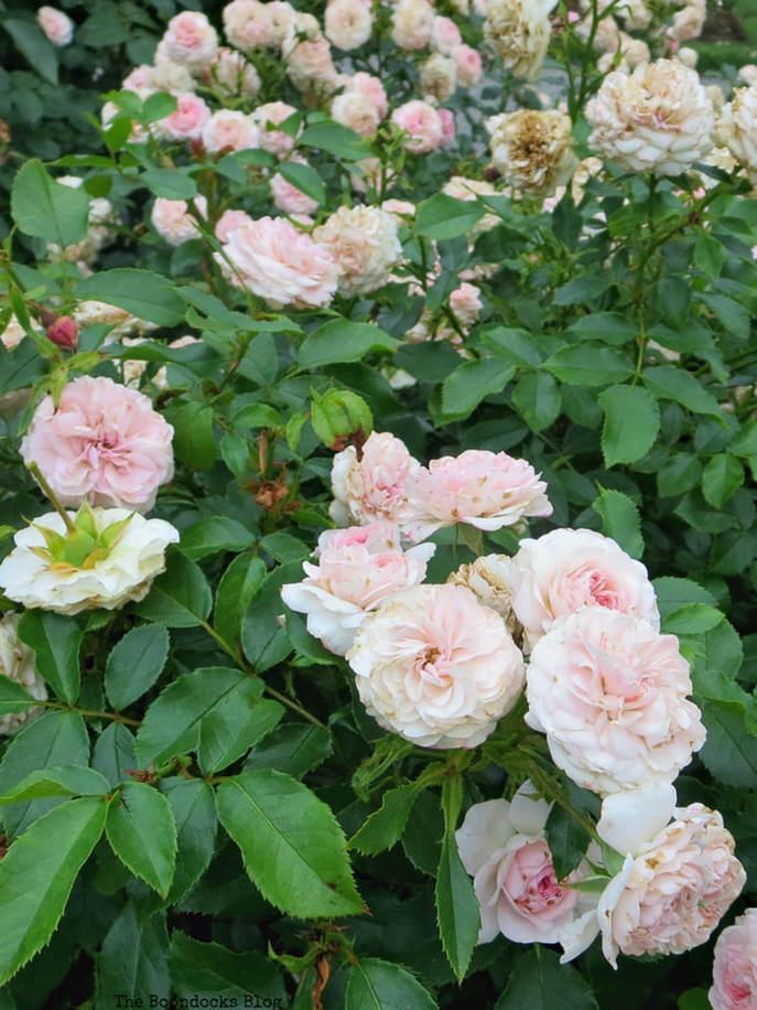 Blush roses, The Peggy Rockefeller Rose Garden: one of the best in the world www.theboondocksblog.com