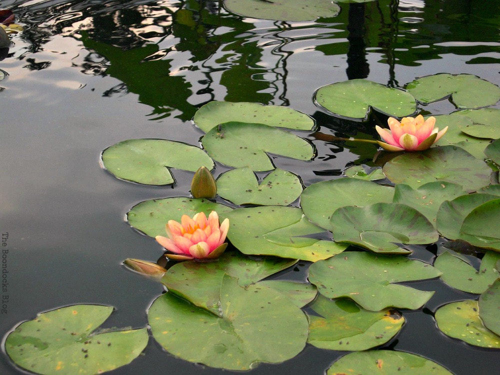 water lilies, A Visit to the Remarkable Enid A. Haupt Conservatory www.theboondocksblog.com